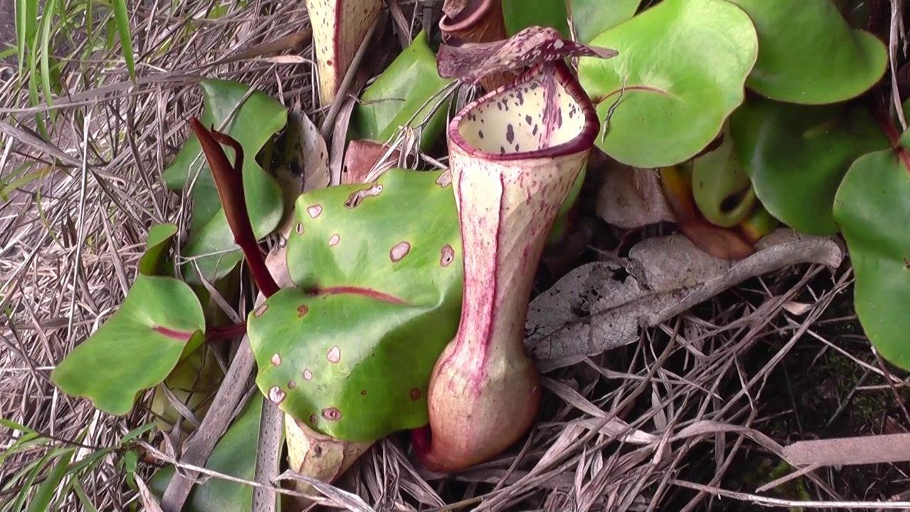 An expedition to find the rare pitcher plant <a class=