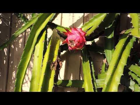 Драконовый фрукт (Питайя). Dragon fruit