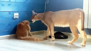 CARACAL WAS AFRAID OF MAINE COONS