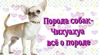 ♡Порода собак-Чихуахуа♡