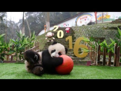 six cute giant panda cubs make debut in sichuan saying happy new year