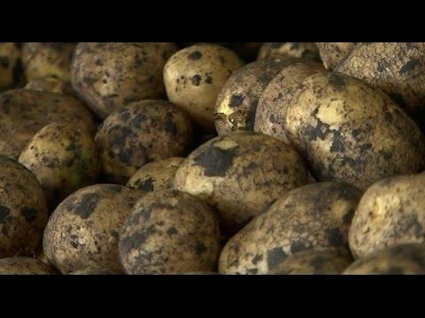 «Агрономика». Производство картофеля (14.09.2016)