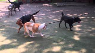 Dog Socialization Training | Dog Training Surrey