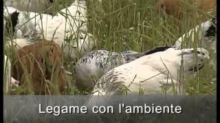 La gallina ovaiola italiana (Vita in Campagna)