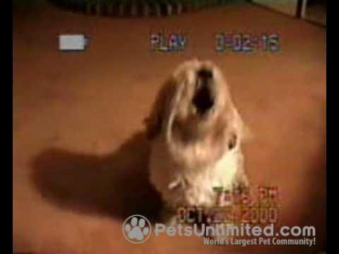 Lhasa Apso Dog Maggie doing tricks