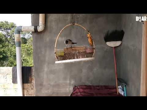 Suara kutilang asli gacor....untuk pikat ciblek dan burung kecil lainya