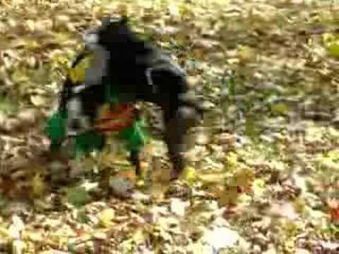 Boston Terrier Batman humps Robin's face