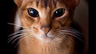 Кратко про абиссинскую кошку thumbnail