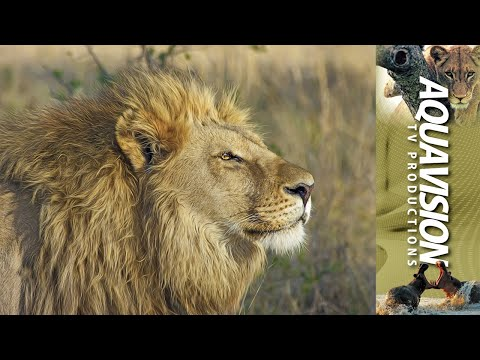 African Lion | 4K UltraHD Stock Footage