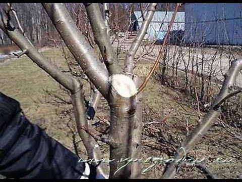 формировка кроны яблони видео
