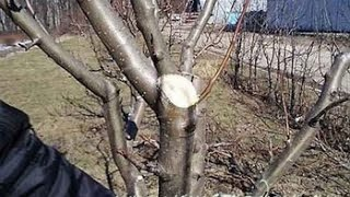 видео схема обрезки яблони
