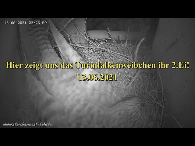 Hier zeigt uns das Turmfalkenweibchen ihr 2.Ei! 13.06.2021