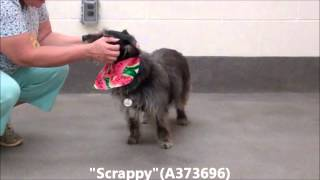 "Adopted-yeah!!!!!!!!     ""scrappy""  13 Yr Old Spayed Female Miniature Schnauzer Mix (a373696)"