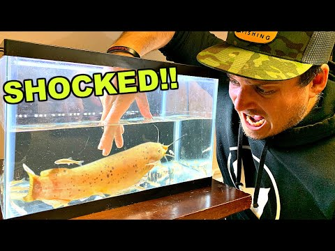 Repeatedly SHOCKED By Electric Catfish While Feeding! (PAINFUL)