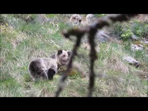 La osezna reintroducida en Picos de Europa retoma la actividad tras 6 meses en su refugio invernal