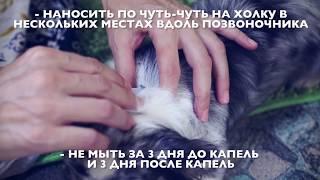 Как вывести блох у собаки в домашних условиях | Чихуахуа Софи