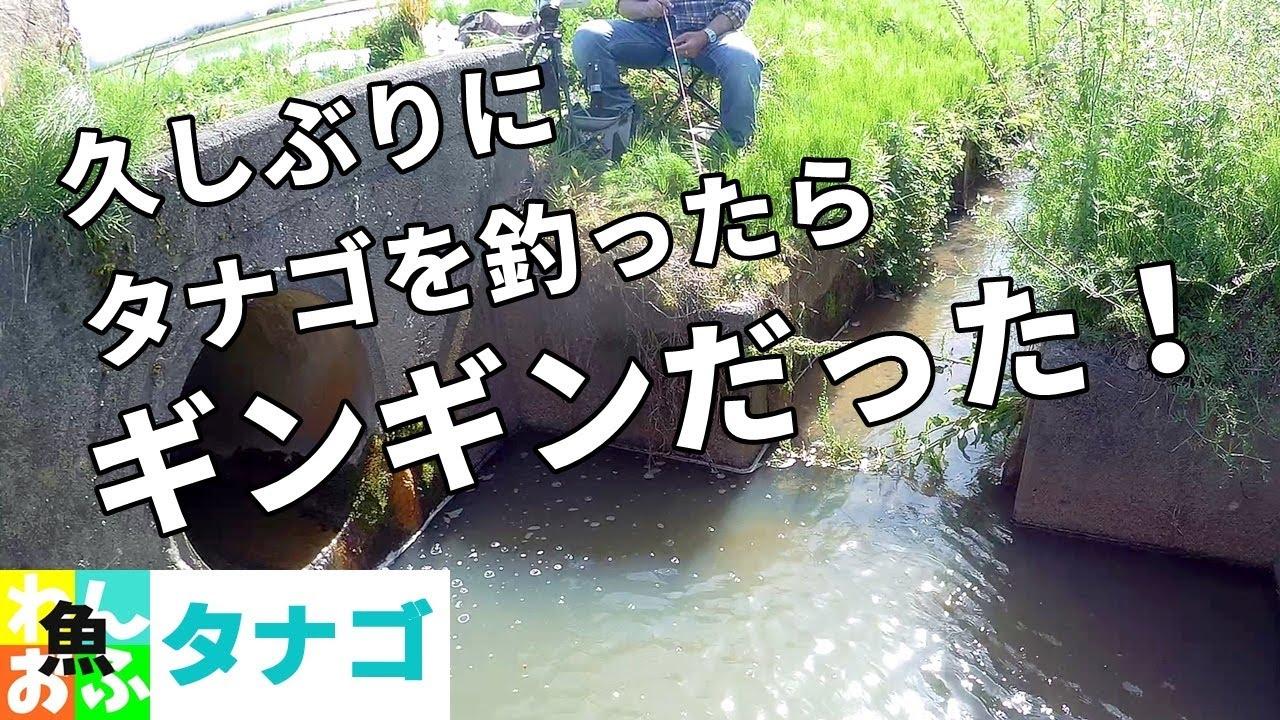 ギンギンなタナゴを釣る! 2021春【タナゴ釣り】Japanese Tanago (bitterling) fishing in the spring of 2021.