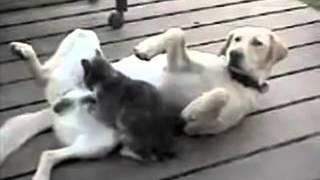 Кошка делает сабаке хорошо