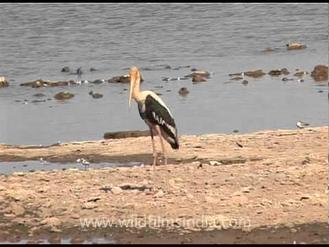 Grey Heron And  Stork