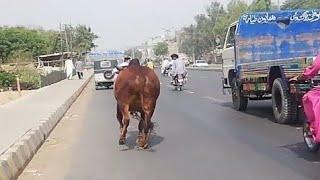 Cow Qurbani   Funny Compilation of Cow Running in Karachi Road   Eid Ul Adha 2018 \u0026 2019