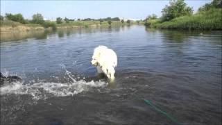 サム&メナの友達犬サモエド3頭で川遊び http://guretaparu.blog45.fc2....