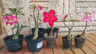 3 Coisas Indispensável para Floração da sua Rosa do Deserto
