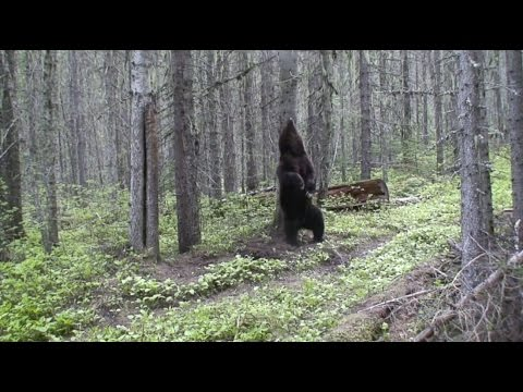 Grizzly Bear Endangered Species Delisting