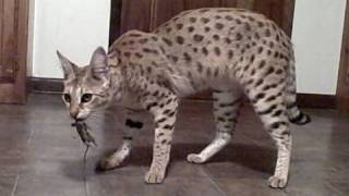 World's Tallest Pet Cat - MAGIC - a female F1 Savannah Cat - probably the most awesome you will see. Thumbnail