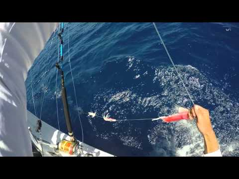 blue marlin bait and switch with the Pitchmeister