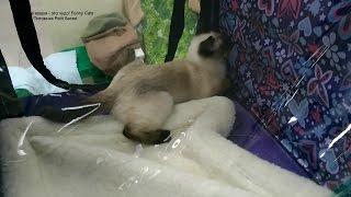 Как быстро тайский котёнок Изабель научилась открывать застёжку Молния! Тайские кошки - это чудо! Fu