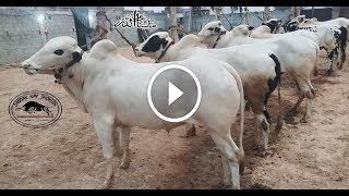Gambar cover Dera Sheikh Wahab    All Bulls    Collection 2019    MASHALLAH