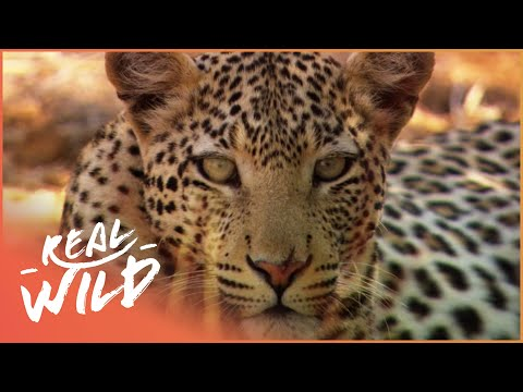 Animal Kingdom - Wild Dogs & Leopards [Documentary Series] | Wild Things