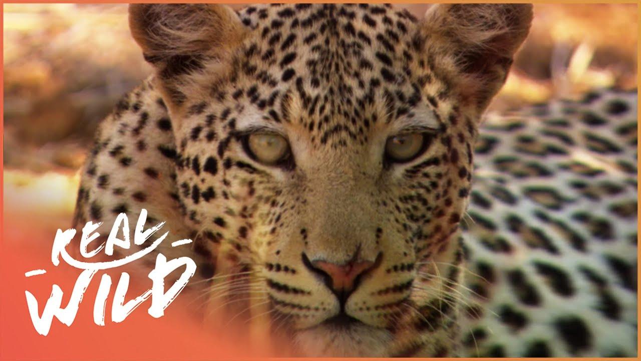 Animal Kingdom - Wild Dogs & Leopards [Documentary Series]   Real Wild