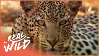 Animal Kingdom - Wild Dogs & Leopards [Documentary Series] | Real Wild YouTube Videos