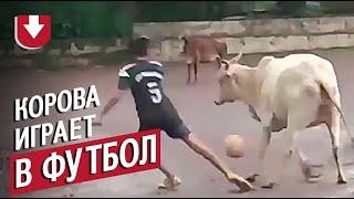 Корова играет в футбол в Гоа