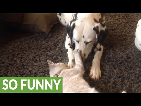 Kitten antagonizes extremely patient Dalmatian couple