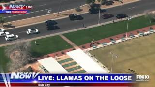 the bonnie and clyde of llamas lead arizona police the public on an entertaining chase