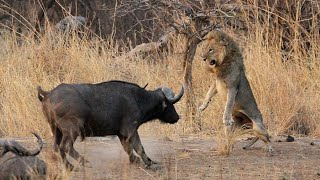 1 Male Lion vs 100 Buffaloes - The Courage Of A Male Lion