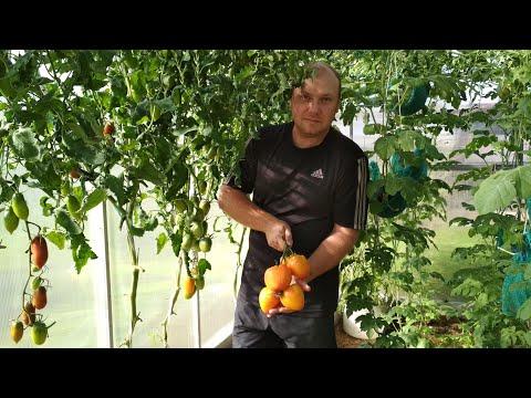 Вопрос: Чем хорош сорт томатов Буржуй Какие отзывы?