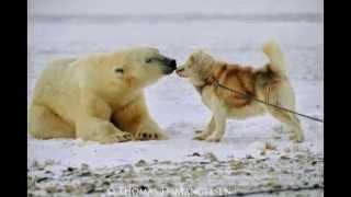 Polar Bear Siberian Huskies Playing Pics