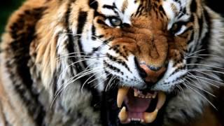 наколи мне тигра(шансон., 2013-01-06T20:13:15.000Z)