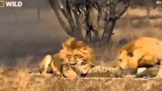 big battle lion vs tiger crocodile cheetah fight to death animals attack