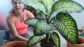 Диффенбахия  пересадка и уход.Комнатные цветы. Dieffenbachia - Пересаживаю цветок диффенбахия методом перевалки и расскажу немного об уходе. Dieffenbachia Спасибо за подписку...