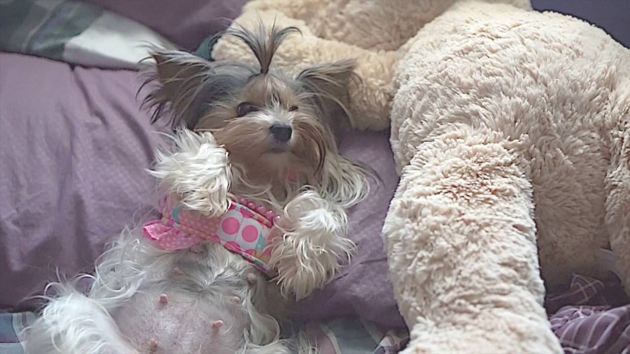 How Does A Yorkie Dog Look Pregnant At Week 7 Youtube