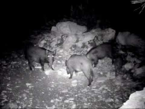 Wild Hogs hunting in Lebanon (Trail Camera)