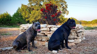 my-cane-corso-battista-gets-a-correction-from-the-alpha-s-of-the-pack-for-being-stubborn