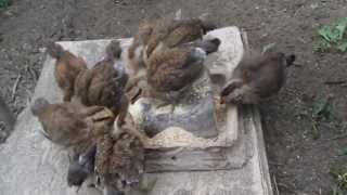 5. Pisklęta zielononóżki kuropatwianej - o poranku (16-07-2013)