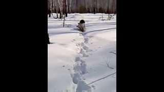 Дратхаар супер собака-2.мечта охотника