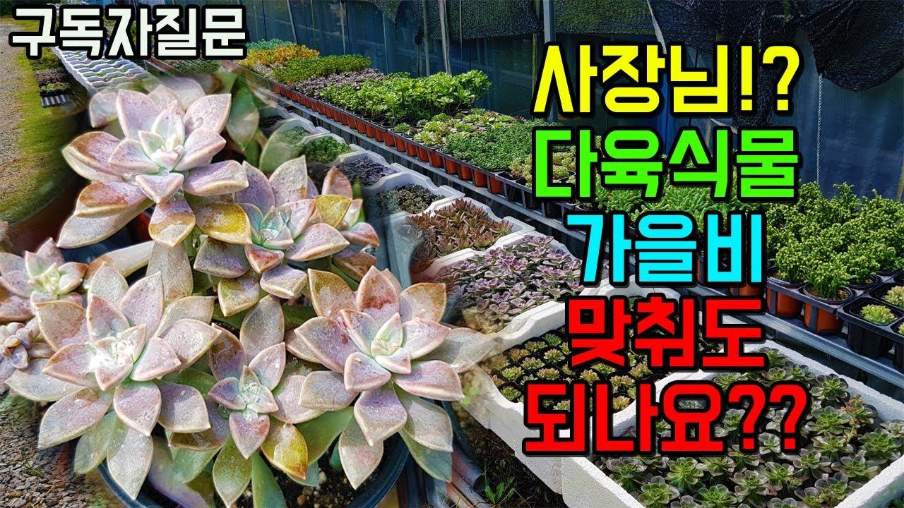 다육식물 가을비 이것저것 따져보고 맞추셔야 합니다!