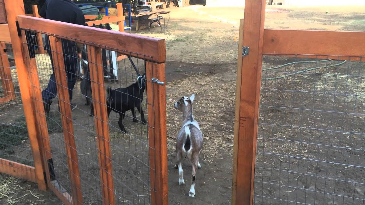 backyard chickens and goats a tour of our farm youtube